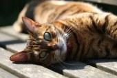 L'Ajuntament de Banyeres del Penedès inicia una campanya d'esterilització de gats
